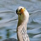 Grey Heron Portrait by M.S. Photography & Art