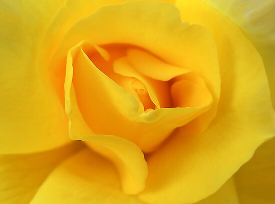 Yellow Rose 01 by Magic-Moments