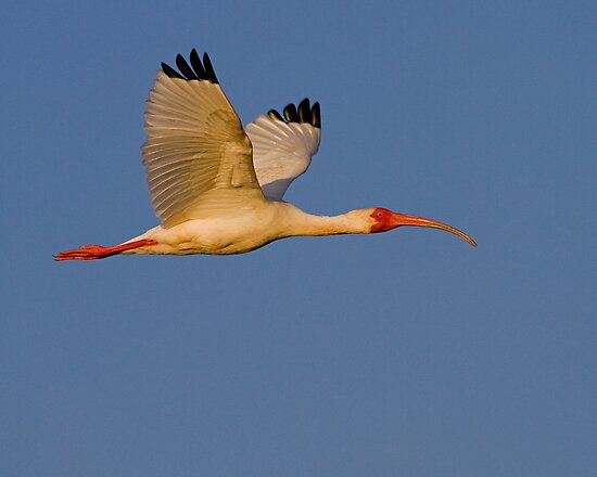 Sunset Ibis by William C. Gladish