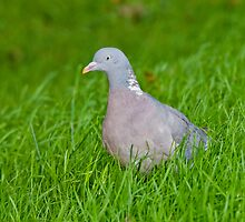 Wood Pigeon by Margaret S Sweeny