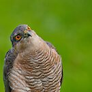 Sparrow Hawk Portrait by M.S. Photography & Art