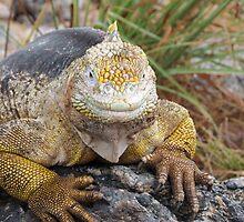 Land iguana 2. by Anne Scantlebury