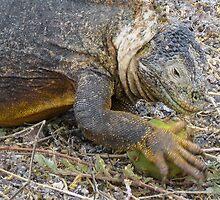 Land iguana 4. by Anne Scantlebury