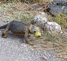 Land iguana 8. by Anne Scantlebury