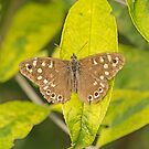 Speckled Wood Butterfly by MikeSquires
