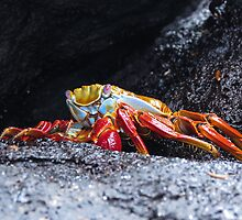 Sally lightfoot crab 3. by Anne Scantlebury