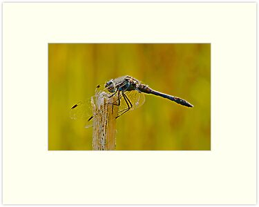 Black Darter Dragonfly by MikeSquires