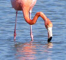 Flamingo 5. by Anne Scantlebury