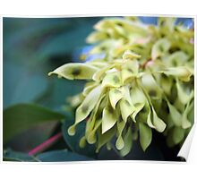 staghorn sumac seed pods Poster
