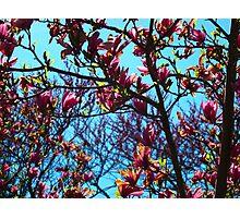 Magnolia Crescendo Photographic Print
