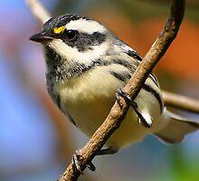 Black-throated Gray Warbler by Carl Olsen