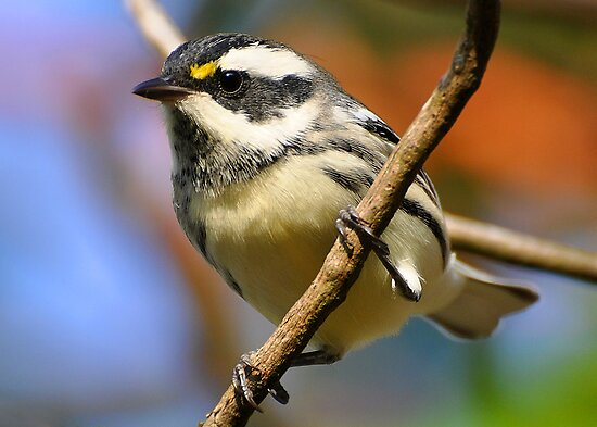Black-throated Gray Warbler by Carl Olsen