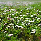 Field of daisies in spring by flips99