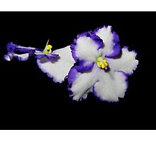 African violets on black Photographic Print