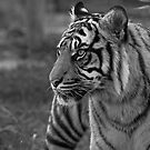 Sumatran Tiger by JMChown