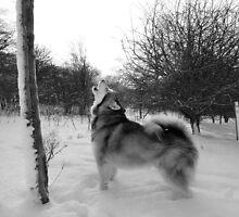 Alaskan Malamute by Gary Cooper