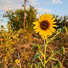 sunflower by sanngat
