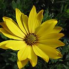 A Little Sun - Golden Cape Daisy by MidnightMelody