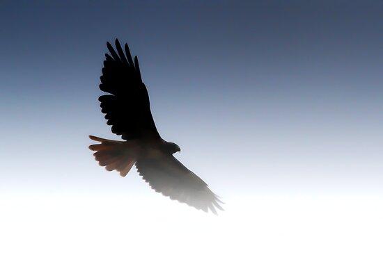 Maureen Sullivan     Portfolio     Flying Hawk SilhouetteFlying Hawk Silhouette