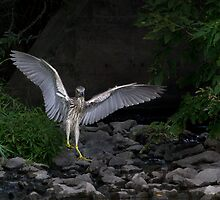 'Night Heron'...Superheron! or Superhero? by Jim Cumming