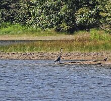 The elusive blue heron by vigor