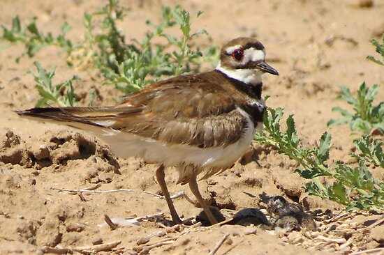 Killdeer & Chicks by Kimberly Chadwick