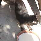 Cat/Milk bowl/Shadows/3 -(070912)- Digital photo by paulramnora
