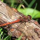 Common Darter by Ashley Beolens
