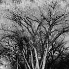 Sunset Lit Tree B&W in NM USA by GJKImages