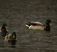 Mallards eyeing me down by Adam Kuehl
