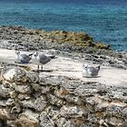 Seagulls in Paradise Island, The Bahamas by Jeremy Lavender Photography