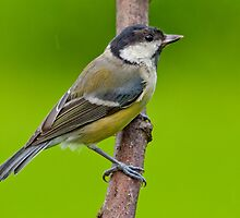 Great tit,in the rain by M.S. Photography/Art