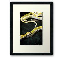 Albino Burmese Python Framed Print