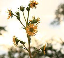 Sun Flower by Adam Kuehl
