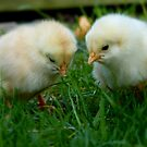 Can You See It? - Day Old Chicks - NZ by AndreaEL
