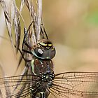 Migrant Hawker (Female) by Ashley Beolens