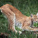 Lynx by Patricia Jacobs CPAGB LRPS BPE3