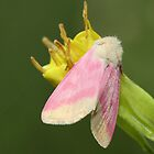 Evening Primrose Moth by Gary Fairhead