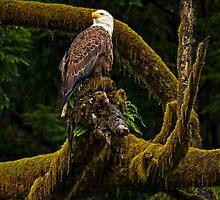 BALD EAGLE by Sandy Stewart