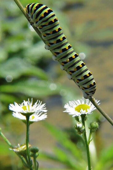 Black Swallowtail Caterpillar Closeup by Ron Russell
