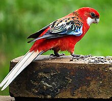 Rosella Parrot, Crimson-Eastern Cross Bred by Bev Pascoe