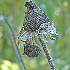 Araneus -  Orb Weaver - Resting Under Seedhead by MotherNature