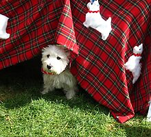 What do you find under a Scottish kilt? A Westie of course! by MarianBendeth
