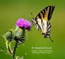 Western Tiger Swallowtail - Milkweed Thistle 2564 by Rateitart