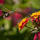 Macroglossum stellatarum by Csar Torres