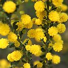 Wattle by Emma Holmes