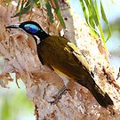 """Blue Faced Honey Eater"" by jonxiv"