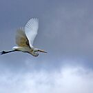 In Flight - River Murray Great Egret, Renmark, South Australia by Mark Richards