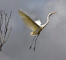 Leap of Faith - River Murray Great Egret, Renmark, South Australia by Mark Richards