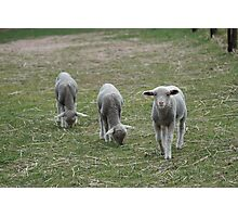 Its Lunchtime Lambs! Photographic Print